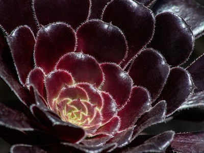 Black Rose Aeonium