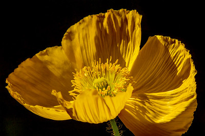Iceland Poppy 'Champagne Bubbles' Yellow