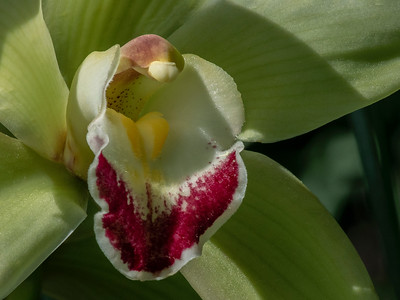 Cymbidium Green Valentine
