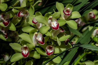Cymbidium Nandi 'Green Giant'