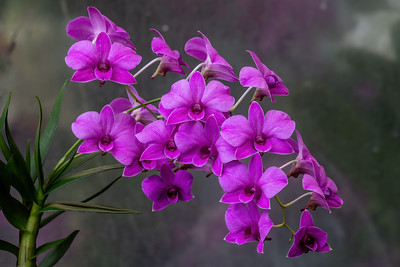 Dendrobium Darlin Imp 'Pink Showers'