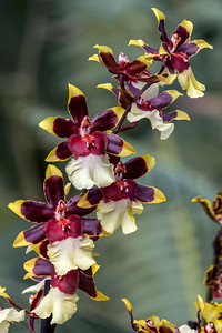 Oncidium Aka Baby 'Raspberry Chocolate'