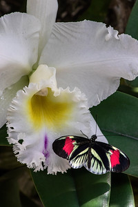 Brassocattleya Pastoral 'Innocence' and Piano Key Butterfly