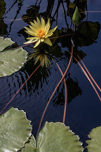 Nymphaea 'Yellow Dazzler'