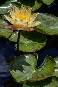 Nymphaea 'Paranee'