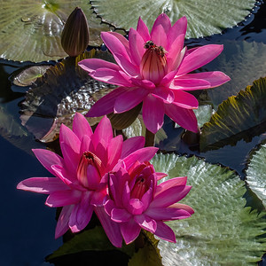 Nymphaea 'James Gurney'