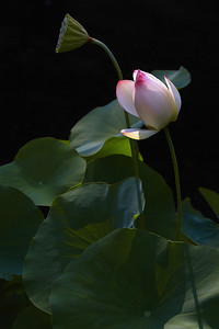 Nelumbo 'Mrs. Perry D. Slocum' Lotus Bud