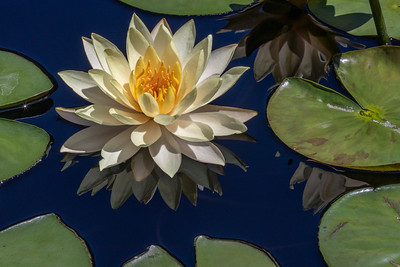 Nymphaea 'Clyde Ikens'