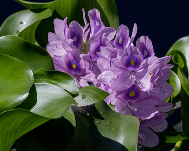 Eichhornia crassipes Water Hyacinth