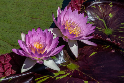 Nymphaea 'Pink Sapphire'