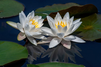Nymphaea 'Queen of Whites'