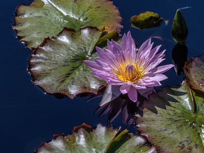 Nymphaea 'General Pershing'