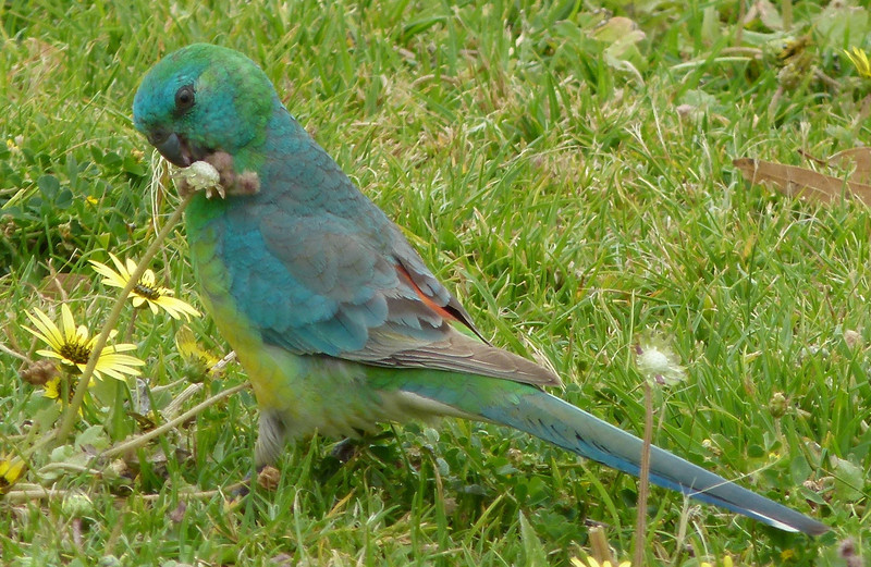 Red-rumped Parrot at lunch at Lake Natimuk
