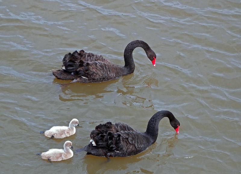 Black Swan family ...