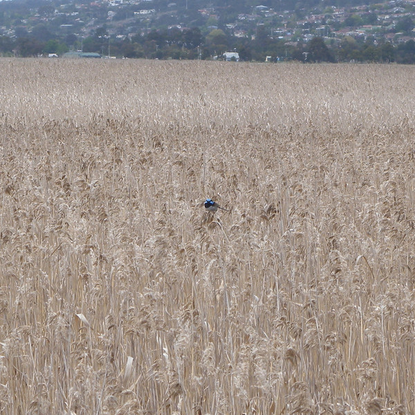 A rather shy Superb Blue Wren