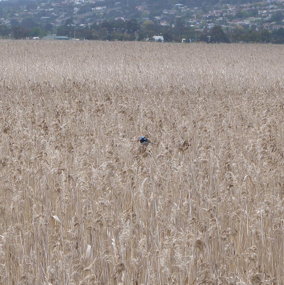 A rather shy Superb Blue Wren