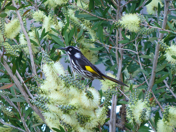 New Holland Honeyeater in our garden ...