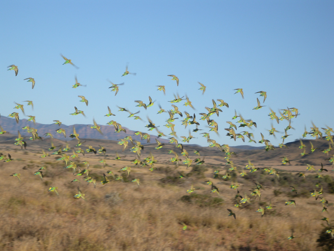A blur of Budgerigars