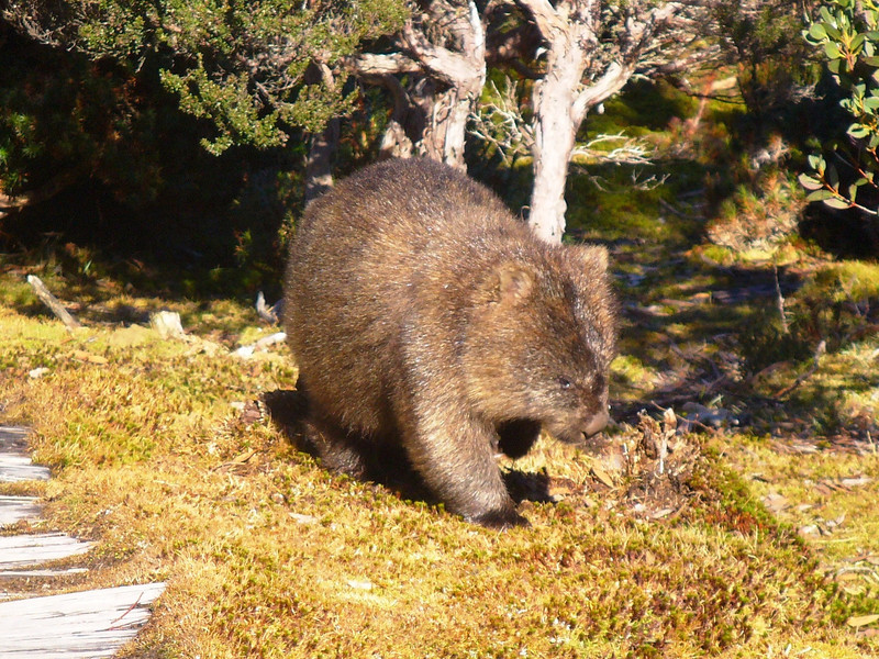 Wombat near Waterfall Valley hut on the Overland Track.