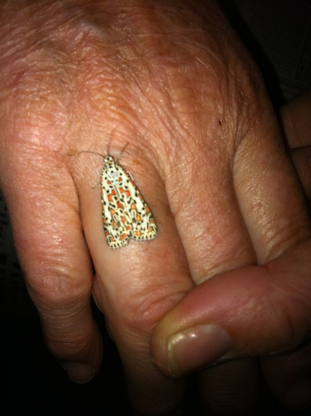 Jewel moth