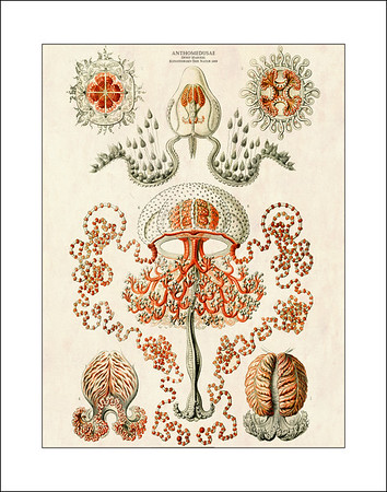 Ernst Haeckel Prints on White