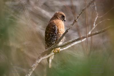 Hawk at Reed Creek Park in Columbia County - Martinez GA