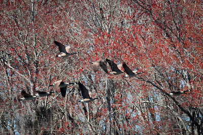 Canada Geese Flying Over the Savannah River in Columbia County