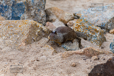Squirrel in the Rocks - Monterey Peninsula