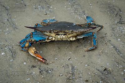 Blue Crab - Jekyll Island GA