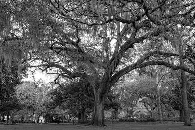 Oak Tree at Forsyth Park - Savannah
