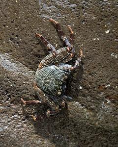A Ama - Thin-shelled Black Crab - Maui Hawaii