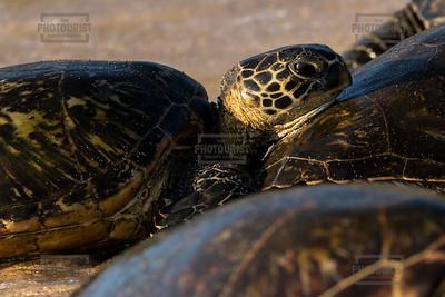 Green Sea Turtles on Hookipa Beach - Maui Hawaii