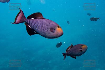 Saltwater Fish - Kauai Hawaii