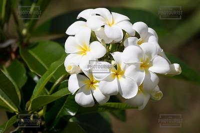 White Plumeria Flowers - Kauai Hawaii