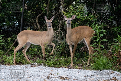 Deer - Charleston SC