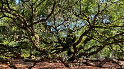 Angel Oak Tree - Charleston SC