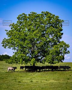 Lone Tree - Anderson SC