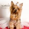 Yorkie911Print-9514