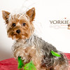 Yorkie911Print-9551
