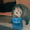 Opossum at Water Bowl with Blackie Sleeping Behind - Nov. 1994