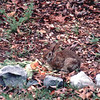 Rabbit in Backyard at the Veggie Scrap Pile - May 1993