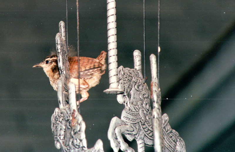 Baby Wren on First Flight  5-18-95<br /> Look at that little tail - barely nothing and all the fuzzy hair down.  So Precious!