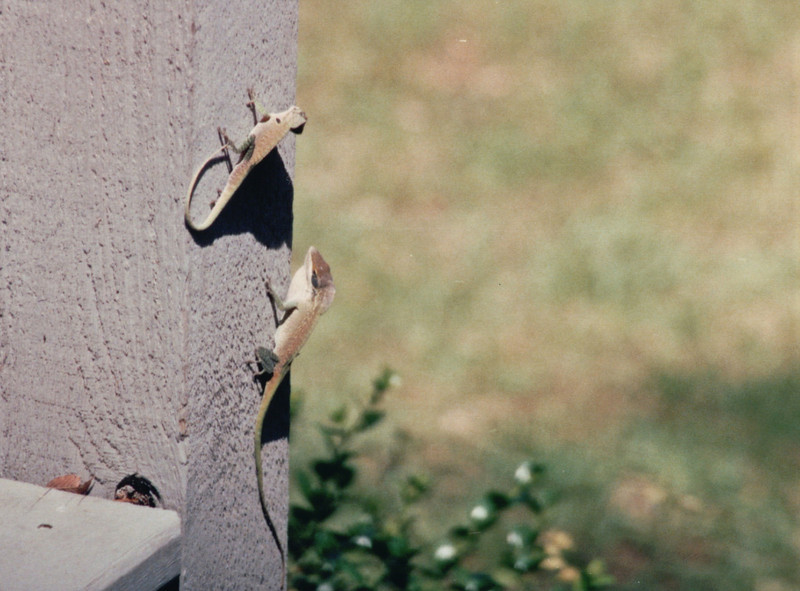 Two Fighting Male Anoles on Back Porch - April 1994