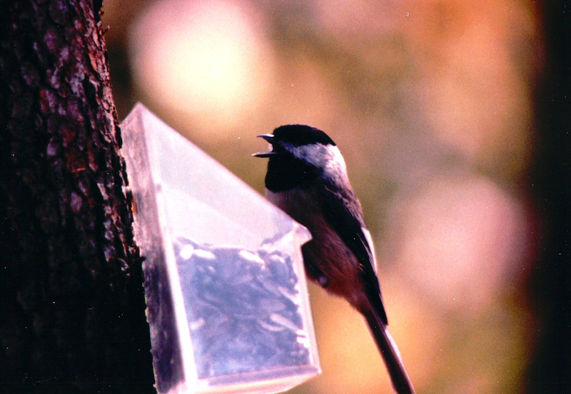 Chickadee at Feeder in Front of Master Bedroom - January 1994