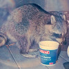 Raccoon on Back Porch at Catfood - Oct. 1993