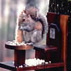 Squirrel in Front Yard by Master Bedroom Window - May 1993