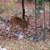 Fawn in Backyard  11-12-97