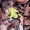 Green Treefrog on Ground - May 1993