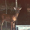 Young Male Deer at Feeder Tray at Arbor - July 1996