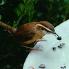 Wren Taking Sunflower Seed From Birdbath - No Date Known For This Photo